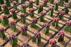 Small red cactus selective focus in flowerpot houseplant. At the farm royalty free stock photos