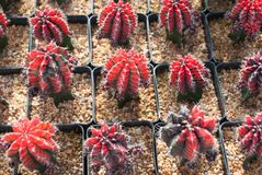 Small red cactus selective focus in flowerpot houseplant. At the farm royalty free stock images