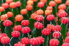 Small red cactus. royalty free stock image
