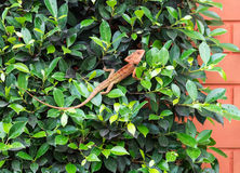 Small red chameleon Stock Photo