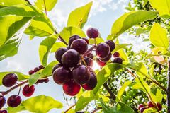 Small red cherries with green leaves. In the bright sunlight of the Province of Quebec, Canada royalty free stock image