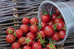 Small red cherry tomatoes are poured from an iron bucket onto an old wooden wicker surface in a rustic style, selective focus stock photography