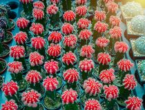 Small red colorful cactus in flower pot at the plant shop. Stock Photography