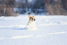 Small red corgi puppy fun runs over a snowy meadow in deep white snowdrifts in winter on a sunny day stock photos