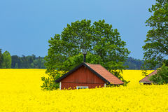 Small red cottage in rape fields Stock Photo