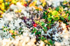 Small red cowberry in a white reindeer lichen. Small red ripe cowberry in a white reindeer lichen stock photo