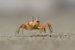 Small Red Crab Walking On The Beach Royalty Free Stock Photo