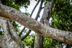 Small Red-crowned woodpecker bird in a tree - Cali, Colombia stock photo