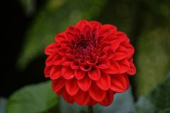 Small red dahlia Royalty Free Stock Photography