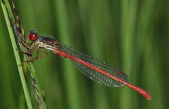 Small Red Damselfly royalty free stock images