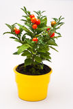 Small red decorative tomato Royalty Free Stock Image