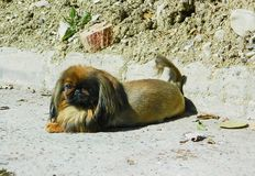 Small, red dog breed Pekingese, lies in the mud near the ruined building. A small, red-haired dog of the Pekingese breed, lies in the mud near the ruined Royalty Free Stock Images