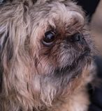 A small, red dog of Pekingese breed.The muzzle of a small Pekingese dog royalty free stock photography