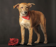 Small red dog in a red scarf around his neck in a studio Royalty Free Stock Photography