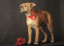 Small red dog in a red scarf around his neck in a studio Royalty Free Stock Photo