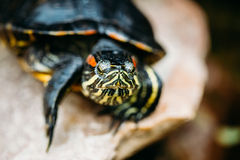 Small Red-ear Turtle, Pond Terrapin Stock Photos