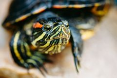 Small Red-ear Turtle, Pond Terrapin Stock Image