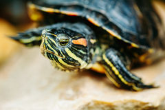 Small Red-ear Turtle, Pond Terrapin Stock Images