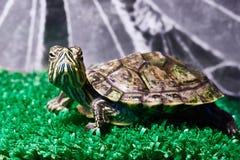 Small red-ear turtle in terrarium Stock Photo