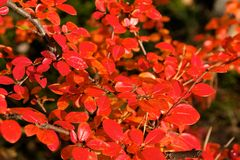 Small Red Fall Leaves Stock Images