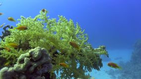 Small red fish in shallow water Red sea. Egypt stock footage
