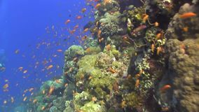 Small red fish in shallow water Red sea. Egypt stock video