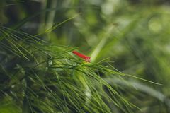 A small red flower on a background of bright green grass. Plants and flowers in Turkey. Blurred background. Close up stock images