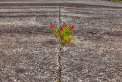 Small red flower on the old abandoned road, Spain Stock Photo
