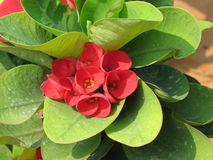 Small red flowers on a bit green leaf Stock Photo