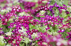 Small red flowers - RAW format royalty free stock photo