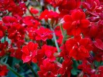 Flowers red Kalanchoe blossfeldiana Pöllnitz Stock Photo