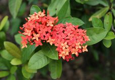 Small Red Flowers Lantana royalty free stock image