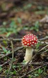Small red fly agaric Royalty Free Stock Photography