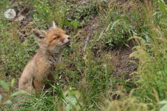Small Red fox Royalty Free Stock Images