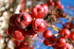 Small red fruits frozen in the tree Royalty Free Stock Photo
