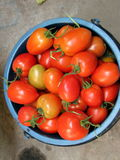 Small red green tomatoes closeup. Small red green  tomatoes grown in the garden Stock Images