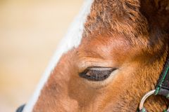 A small red haired brown colt. Eyes close up. A small red haired brown colt. Eyes close up royalty free stock photos