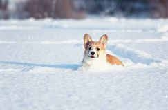 Small the red-haired puppy of the corgi is playing fun in the white snow, smearing his nose and face in the winter park stock image