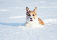 Small the red-haired puppy of the corgi is playing fun in the white snow, smearing his nose and face in the winter park on a sunny royalty free stock photography