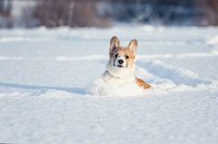 Small the red-haired puppy of the corgi is playing fun in the white snowdrifts, smearing his nose and face in a winter park on a stock photography