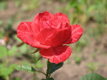 A small Red Intuition rose Stock Image