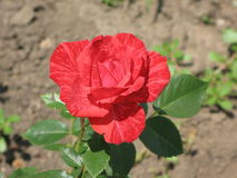 A small Red Intuition rose Stock Photography