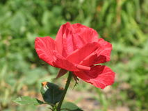 A small Red Intuition rose Stock Images