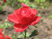 A small Red Intuition rose Royalty Free Stock Images