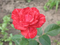 A small Red Intuition rose Stock Photos