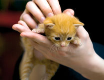 Small red kitten Royalty Free Stock Photography