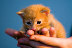 Small red kitten. Small red cat in human hands royalty free stock photos