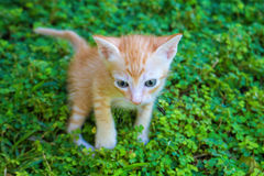 Small red kitten in green grass. Outdoor life of domestic cat Royalty Free Stock Photography