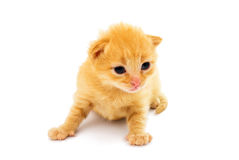 Small red kitten isolated on white Royalty Free Stock Photography