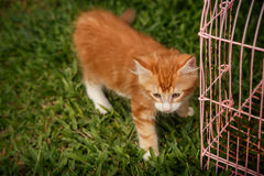 small red kitten stand on green grass Stock Image